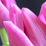 """""""The tulips at that perfect place, crane their necks with liquid grace..."""" (From """"The Tulips"""" by Ricky Ian Gordon)"""