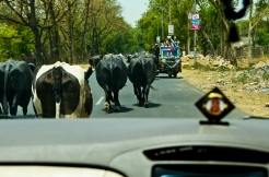 Traffic often moves at the speed of the slowest cow. Then, there will be an opening and the cars will scoot by them.