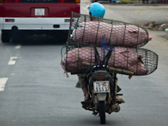 Live pigs, bundled in chicken wire, are carried to slaughter on the back of scooters