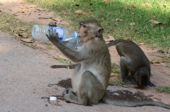 Finally, the little monkey gives up and just drinks from the puddle on the ground.